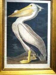 American White Pelican, After John James Audubon