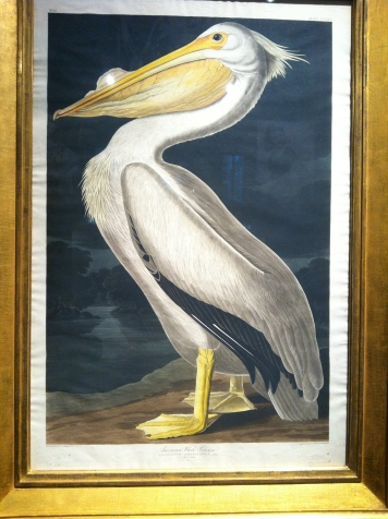American White Pelican, After John James Audubon