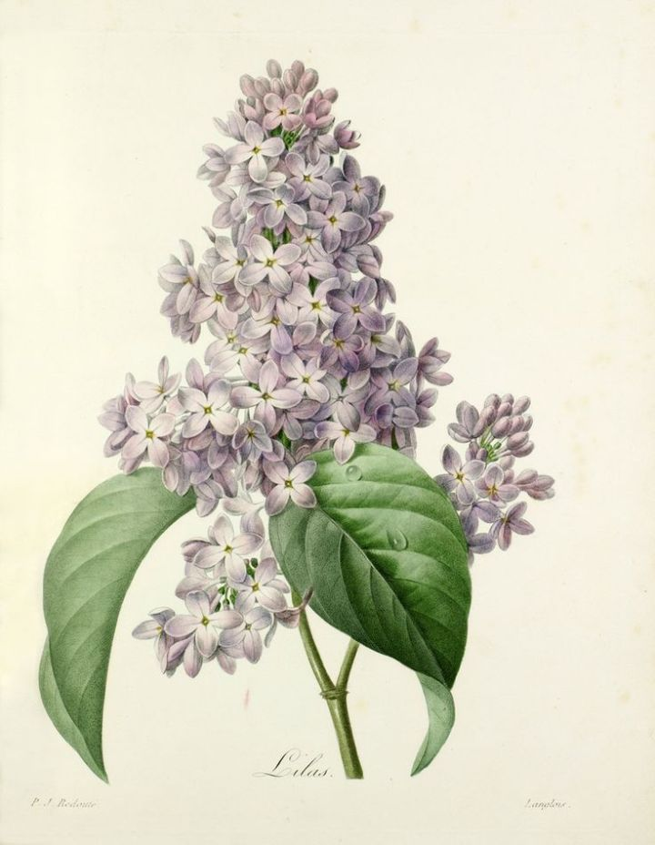 Colour-printed, hand-finished stipple engraving entitled Lilas, engraved by Langlois (c.1800) after an original by Pierre Joseph Redouté (1759-1840). From P. J. Redouté's Choix des plus belles fleurs, published in parts (each part containing four plates) in Paris from 1827 to 1833. Plate 76.