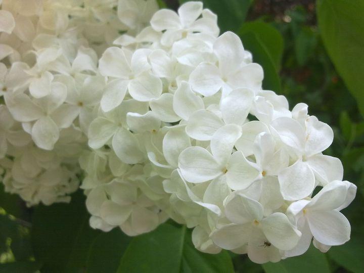 Fleurs_de_lilas_blanc_à_Grez-Doiceau_001